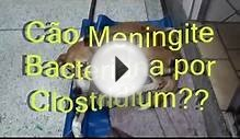 canine meningitis and acupuncture rehabilitation