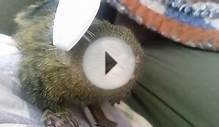 Video: Super Cute Pugmy Marmoset Gets Full Body Massage